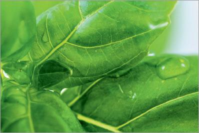 Root biotech HW เป็นสารสกัดจากการเพาะเลี้ยงเนื้อเยื่อส่วนรากของ Basil (โหระพา)